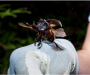 Meet the scientists that use poop to catch rainforest dung beetles